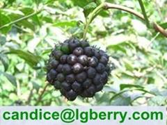 Eleutheroside 0.65% 0.8% 1.5% Siberian Ginseng Extract