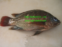 frozen tilapia whole rou