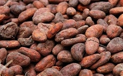 Dried Cocoa beans for sale