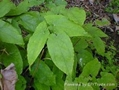 Epimedium grandiflorum.L