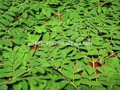Moringa oleifera - Seeds, Leaves & Oil