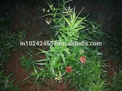 Gloriosa Superba Seeds & Rhizomes