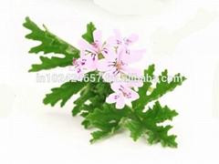 Geranium (Pelargonium Graveolens) Essential Oil
