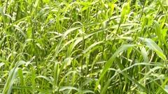 Cymbopogon Martinii - Palmarosa Essential Oil