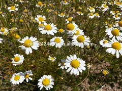 Chamomile (Matricaria Chamomilla) Seeds, Tea & Essential Oil