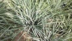 Cymbopogan flexuosus - Lemon Grass