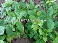 Andrographis Paniculata Seeds & Herbs