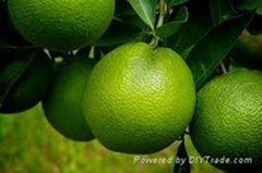 FRESH GREEN ORANGE FRUIT WITH BEST PRICE AND HIGH QUALITY