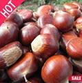 Organic Fresh Bulk Chestnuts