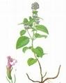Clinopodium-Herb-Extract