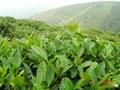 Green Tea Extract  3