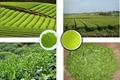 Green Tea Extract  4