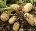 求购马铃薯土豆 2