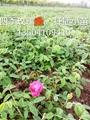 多季玫瑰扦插小苗 1