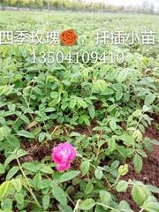 多季玫瑰扦插小苗