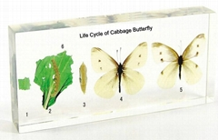 Life Cycle of Cabbage Butterfly Biology specimen
