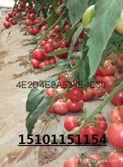 荷兰进口番茄种子