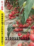 改良粉冠番茄种子抗TY进口番茄种子