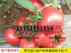 荷兰进口杂交番茄种子种植 1