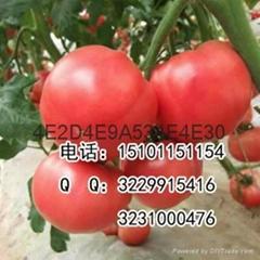 红双喜石头型大红番茄种子