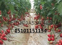 荷兰硬粉抗TY病毒进口番茄种子价格