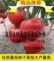 荷兰金宝利F1抗病高档番茄种子