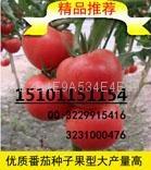 荷蘭金寶利F1抗病高檔番茄種子