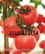 荷兰硬粉抗TY病毒进口番茄种子 1