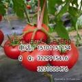 金粉番茄种子价格进口番茄种子