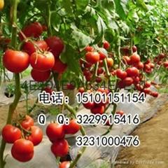 抗病硬粉大果型番茄種子價格