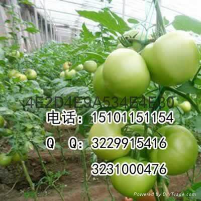 抗病硬粉大果型番茄种子价格 2
