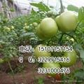 抗病硬粉大果型番茄种子价格 4