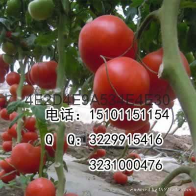 抗病硬粉大果型番茄种子价格 5