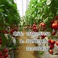 抗病硬粉大果型番茄种子价格 3
