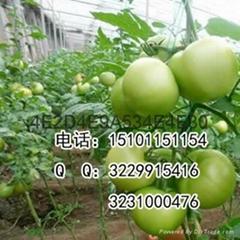 粉果小果型番茄种子