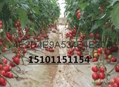 大棚进品荷兰亮粉番茄种子 1