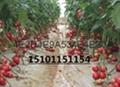 大棚进品荷兰亮粉番茄种子