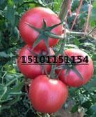 荷兰大粉果大番茄种子