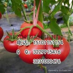 早熟荷兰抗病高产硬粉番茄种子