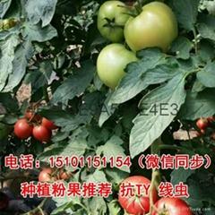 粉果番茄種子【大果硬粉番茄種子】