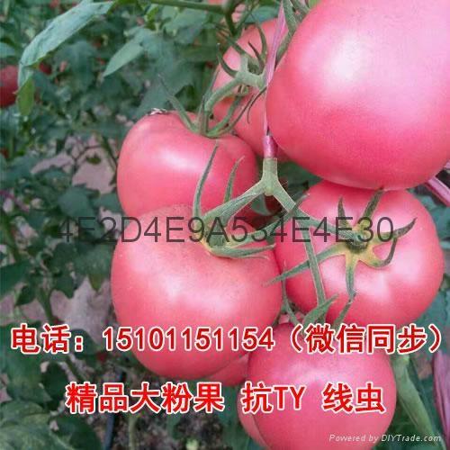 荷兰优质番茄种子,进口番茄种子 2