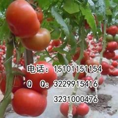 大果番茄种子 硬粉番茄品种
