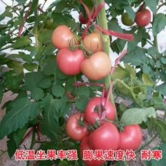 荷蘭320大果番茄品種