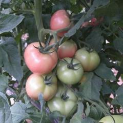 北番108硬粉番茄种子