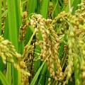 agriculture chemical pesticide plant growth regulator uniconazole 5%WP 3
