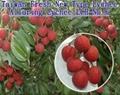 Taiwan Fresh Lychee - Alluring Lychee 1