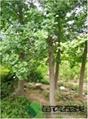 10cm銀杏樹價格