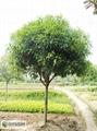 20cm桂花樹價格