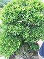 安徽黃楊樹價格