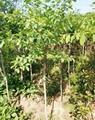 流甦樹價格